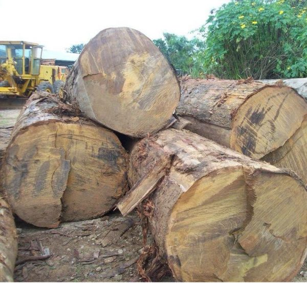 Pachyloba Log
