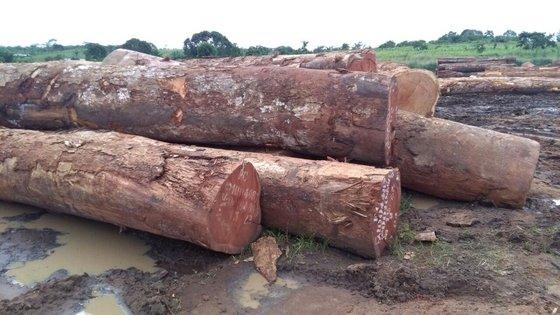 Pachyloba round log Price