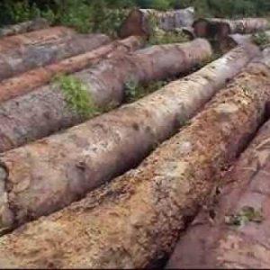 Cerejeira Amburana Wood Logs